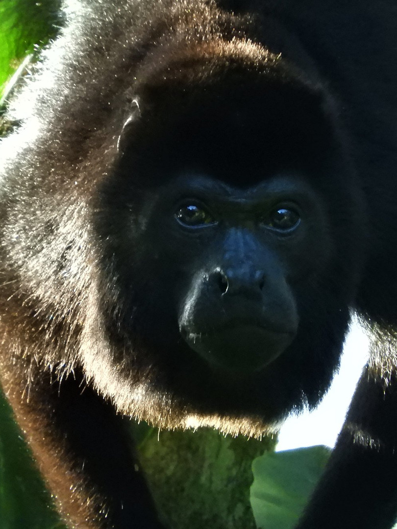 Howler monkey portrait