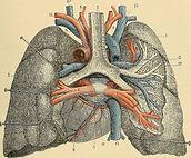 poumon ancien.jpg
