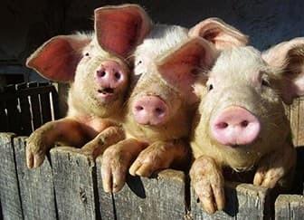 Ставрополь.На миллиарды оштрафует свиноферму.За отходы.