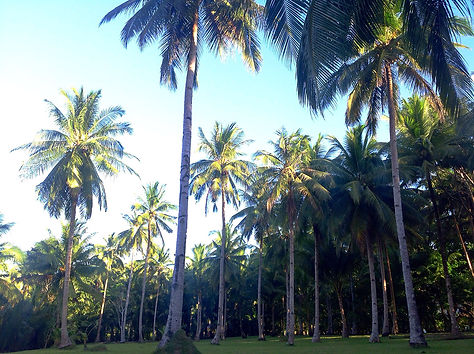 オーガニック環境抜群のココナッツファーム