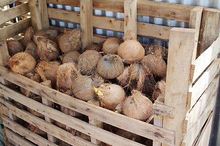 ココナッツの熟成中