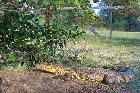 Pumpkin morelets crocodile.jpg