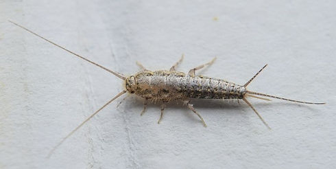 insect-feeding-on-paper-silverfish-royal