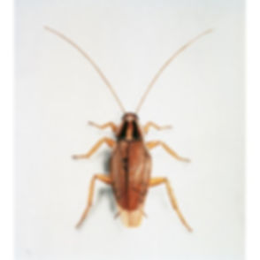 German Cockroach.jpg