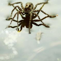 Die schwimmende laufende Spinne