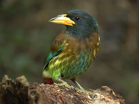 great_barbet_lokeshkumar.JPG