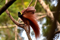 Raggiana Bird-of-paradise.JPG