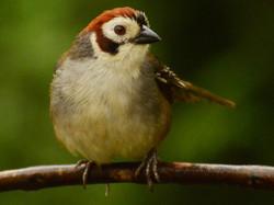 Prevost's Ground-Sparrow