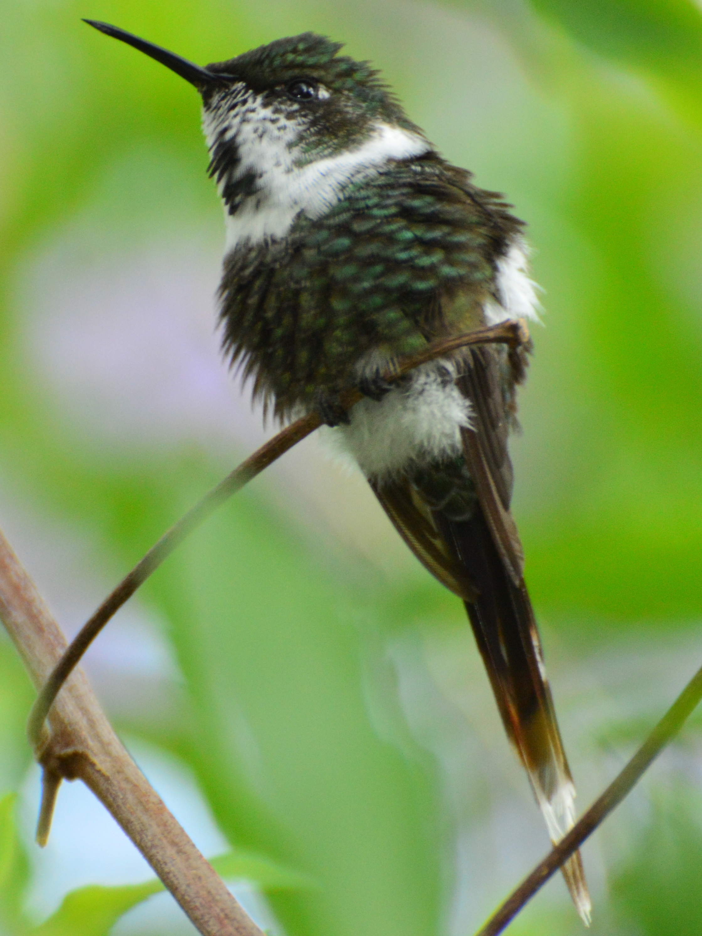 Sparkling-tailed Woodstart