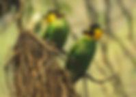long-tailed_broadbill_lokeshkumar.jpg