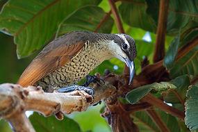 Paradise Riflebird.jpg