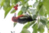 Red-breasted Sapsucker.jpg