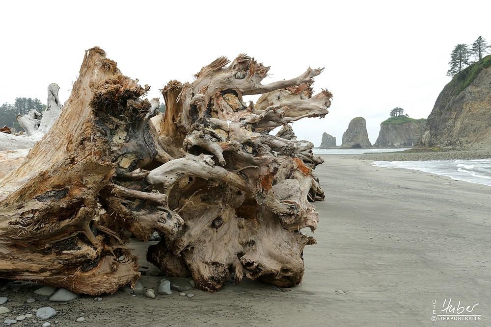 Tote Baumriesen an der Küste