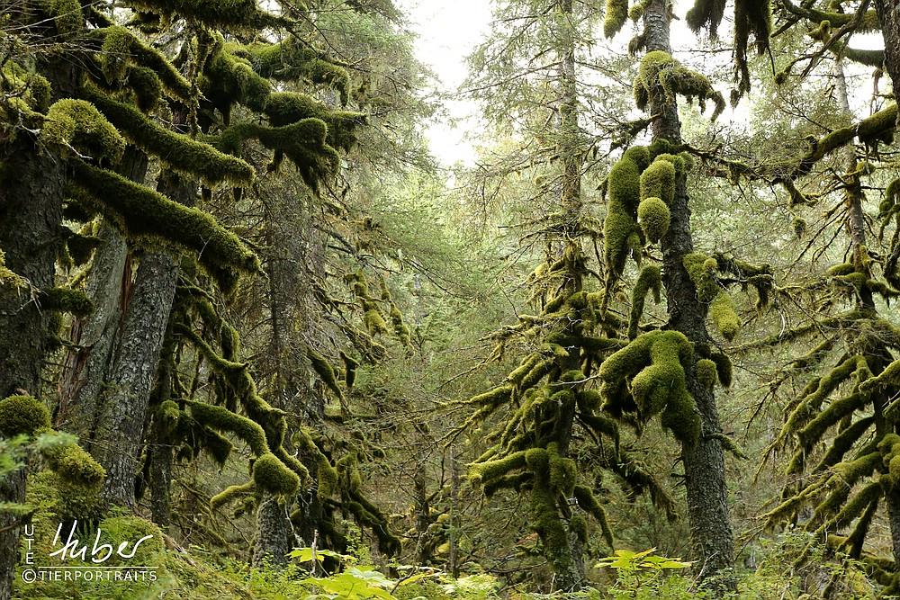 Regenwald auf dem Weg nach Seward