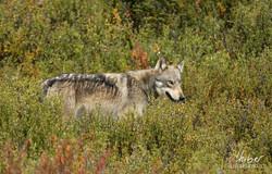 Wolf im Denali N.P