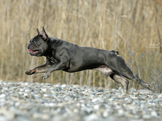 comp_Bullys vom Egelsee Bullyzucht Mainhardt Französische Bulldoggen