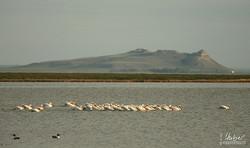 Pelikan-Kolonie am Freezeout Lake
