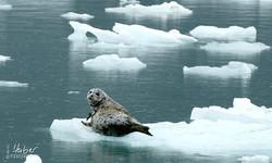 Robbe auf Eisscholle