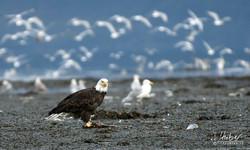 Weißkopfseeadler beim Lachsfrühstück