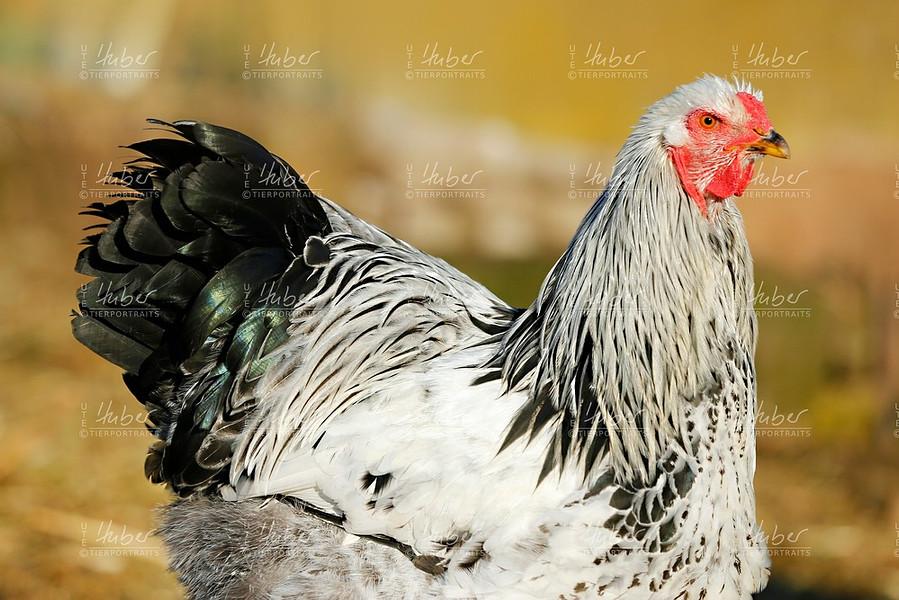c_Galloway und Hühner_2020_12_16_0053_1.