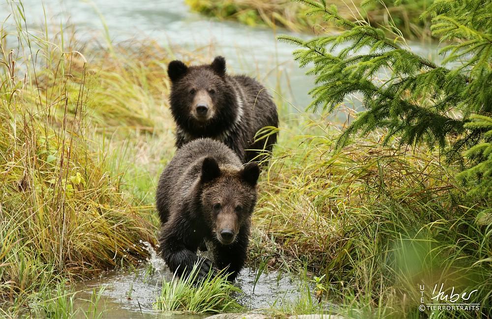 Bärenjunge