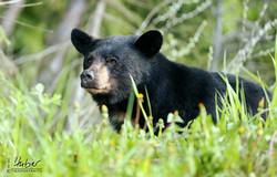 Schwarzbär im Kootenay N.P.