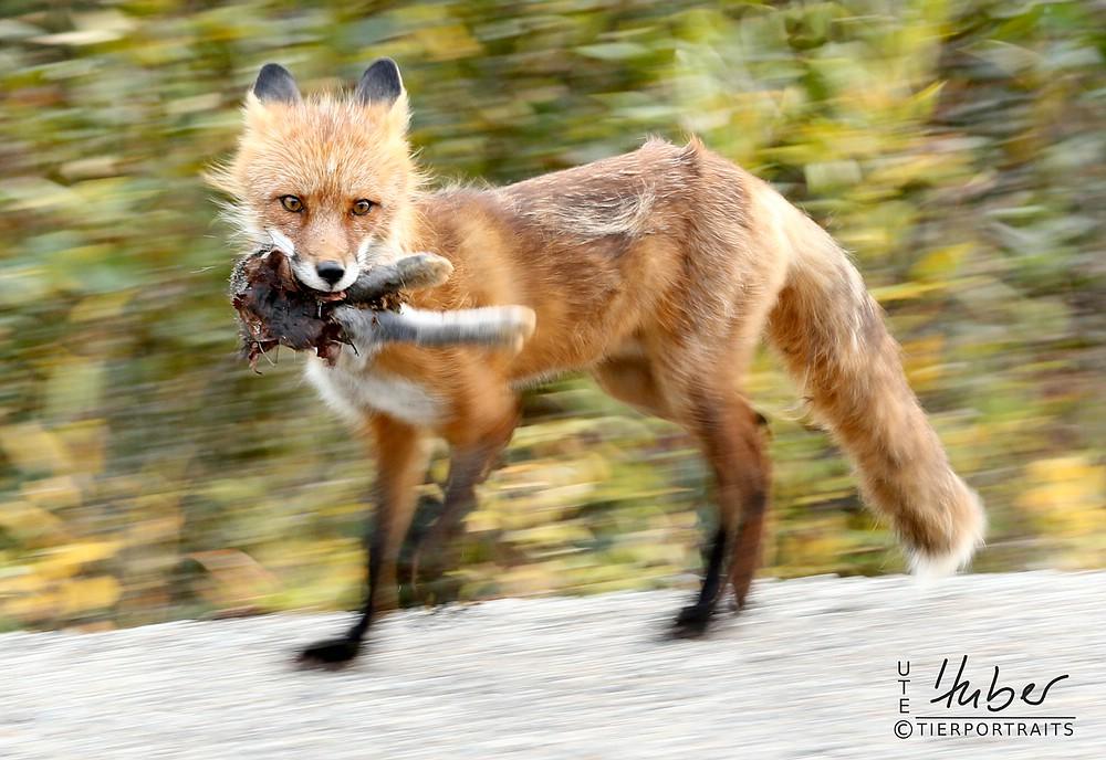 Fuchs mit Hasenlauf