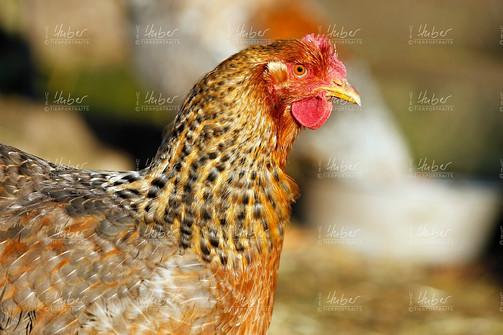c_Galloway und Hühner_2020_12_16_0024_1.