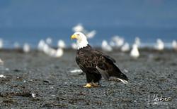 Weißkopfseeadler in Valdez