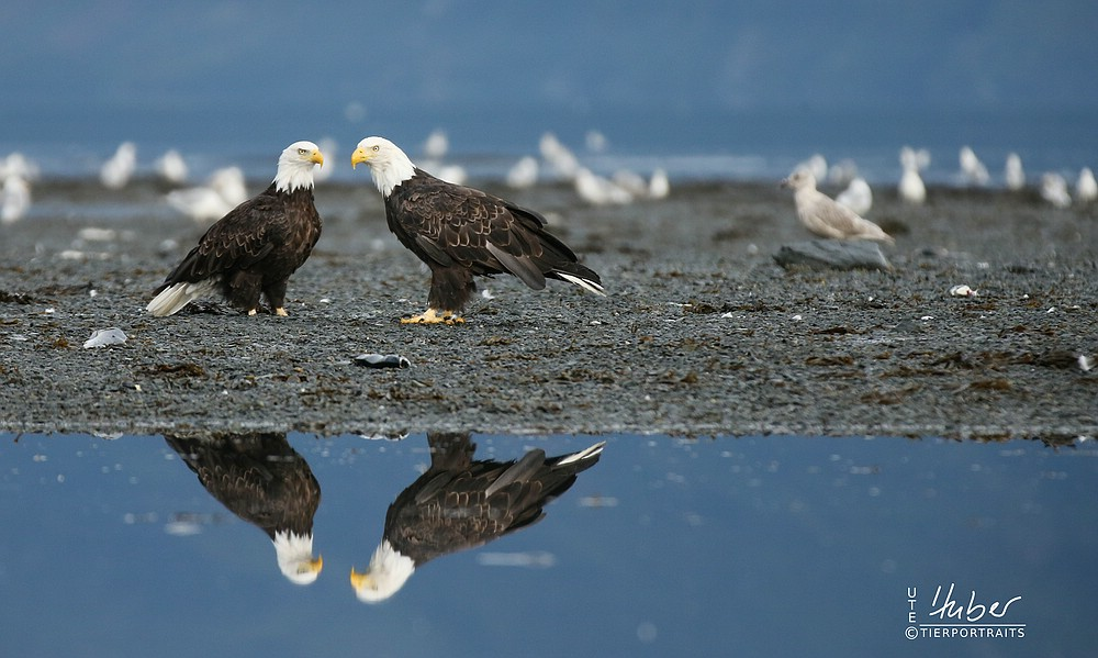 zwei Weißkopfseeadler spiegeln sich