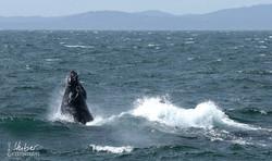 Humphback Whale an Oregons Küste