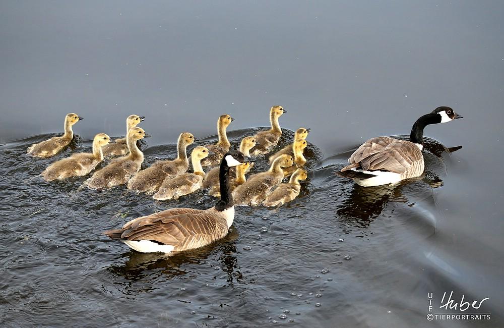 Canadian Goose mit 13 Kindern