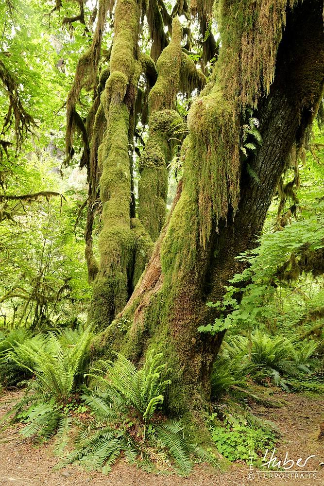 Hoh Rain Forest im Olympic N.P.