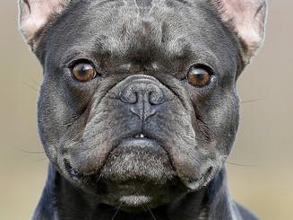 Bullys vom Egelsee Bullyzucht Mainhardt Französische Bulldoggen.jpg