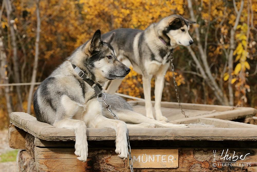 Sled dogs im Denali