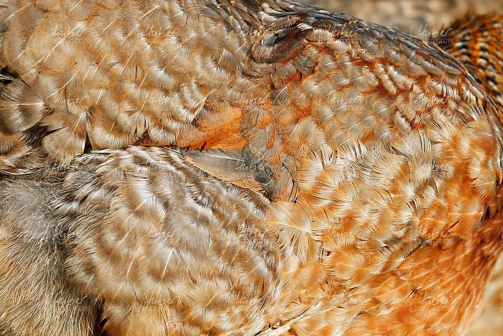 c_Galloway und Hühner_2020_12_16_0040_1.