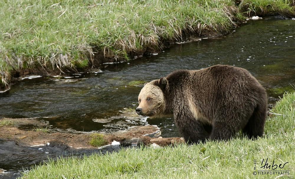 Grizzly - er hat mich auch entdeckt