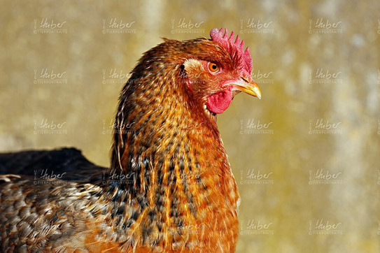 c_Galloway und Hühner_2020_12_16_0111_1_