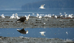 Weißkopfseeadler - die Spiegelung <3