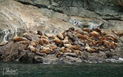 Seelöwen im Kenai Fjord N.P.