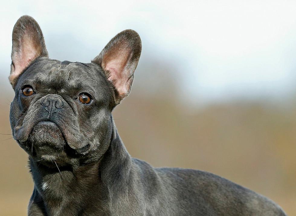 Bullys vom Egelsee Bullyzucht Mainhardt Französische Bulldoggen