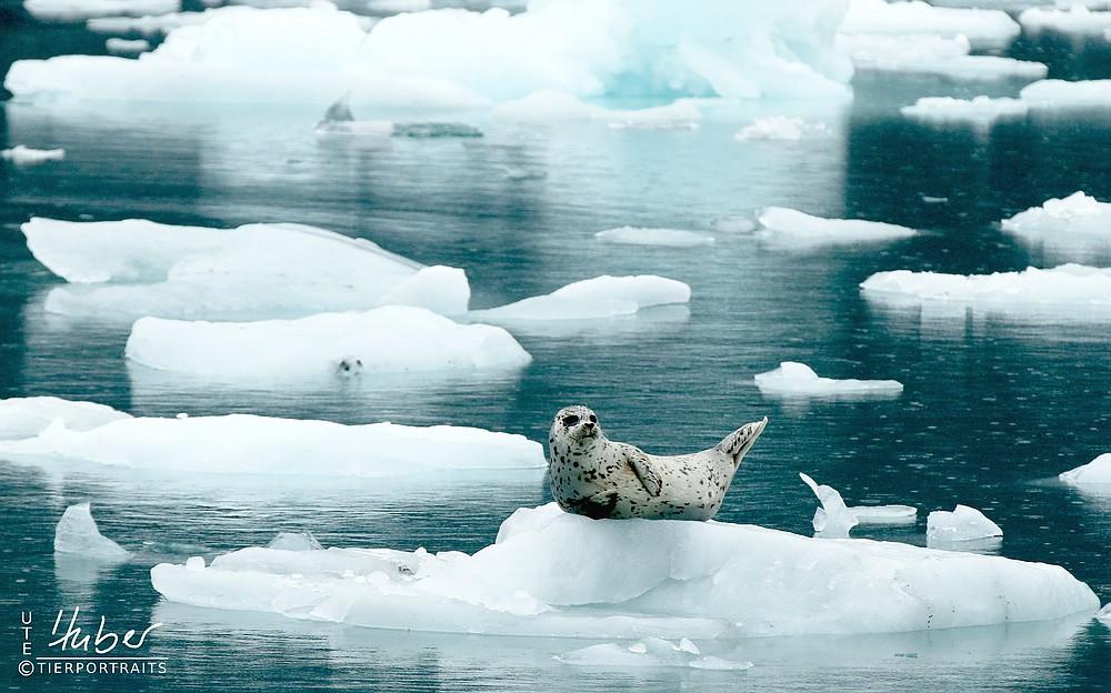 Robbe am Columbia Gletscher
