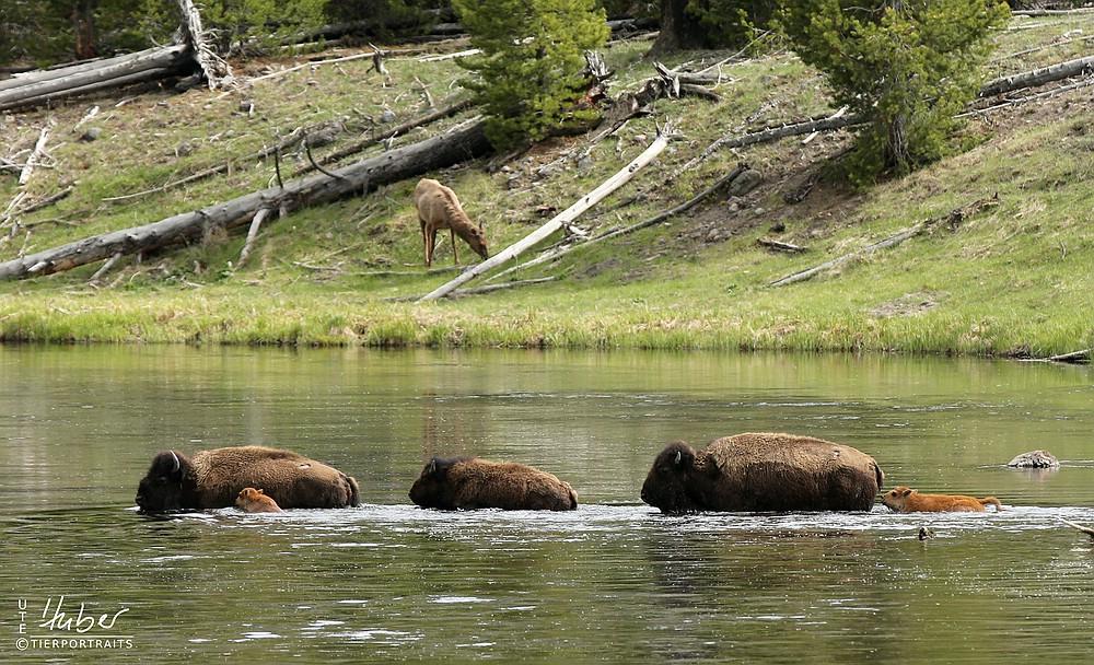 Kleine und große Bisons im Wasser