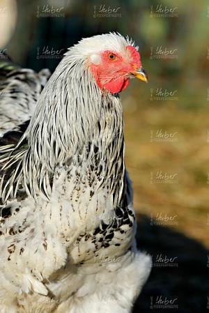 c_Galloway und Hühner_2020_12_16_0006_1.