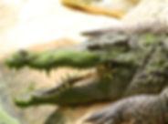 crocosfleur.jpg