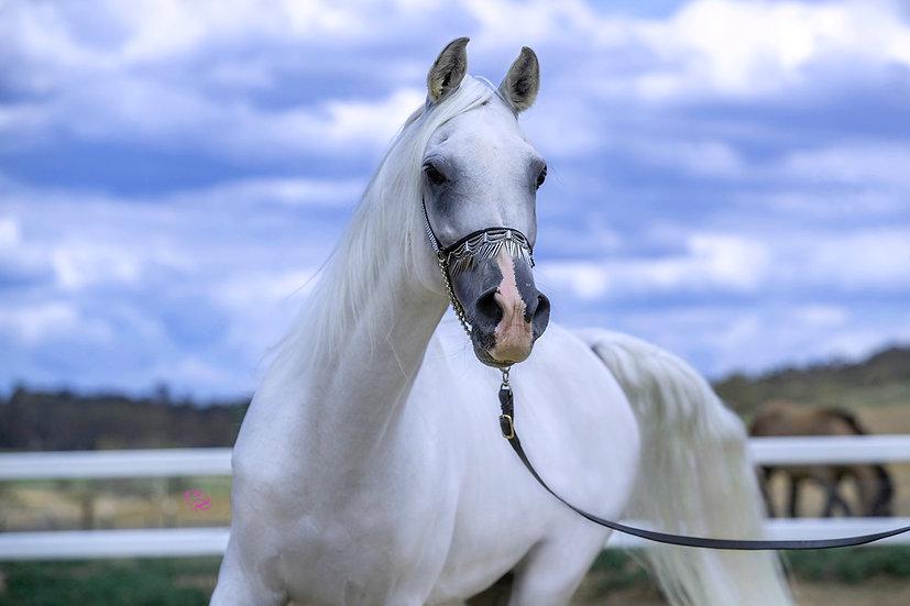 MAAHIR - Registered Arabian Stallion