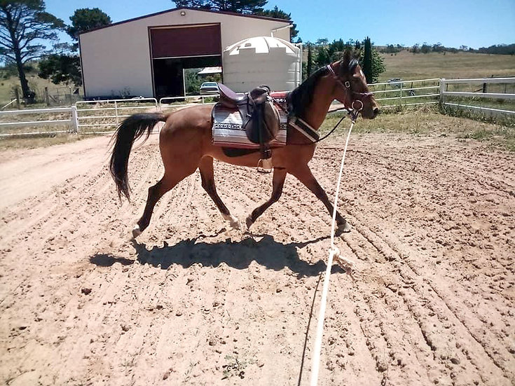 GOLDEN AGE BAARIQ - Registered Arabian Gelding