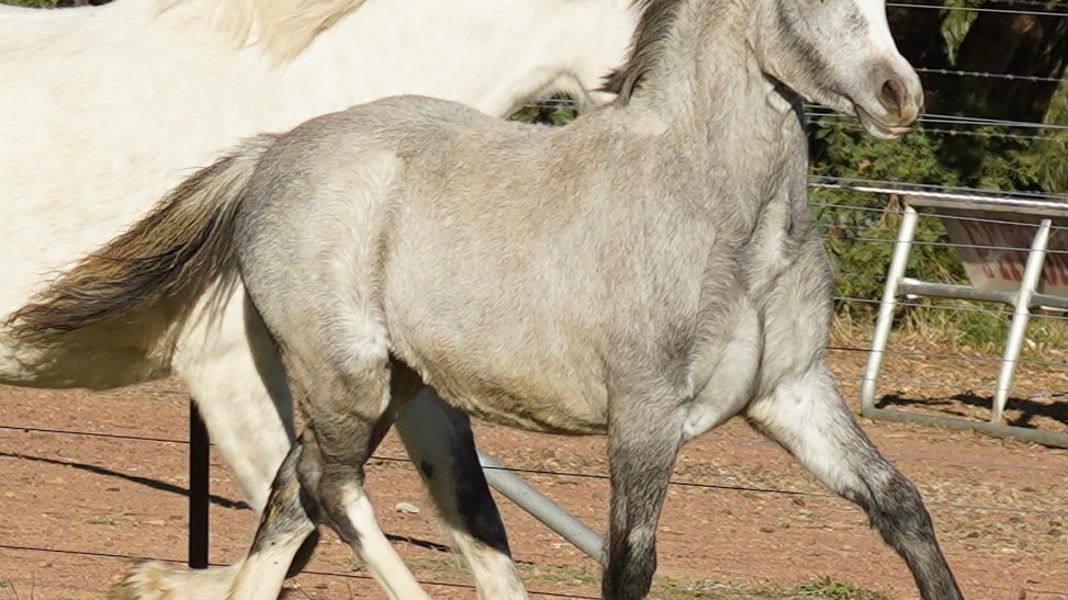 IMPERIAL CAMELLIA - Section A Welsh  Filly