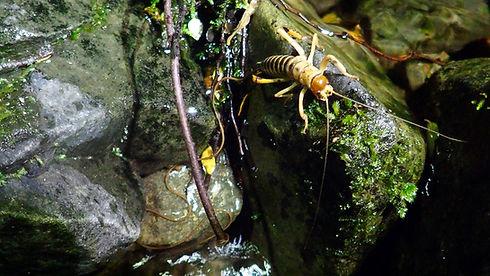 Tree weta and hairworm 2.jpg