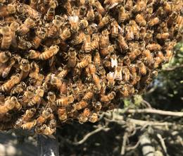 Bee Swarm.HEIC
